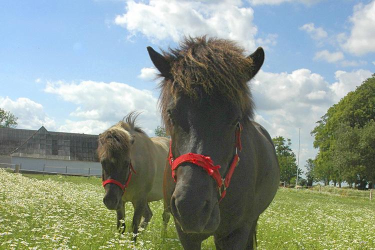 Heste i fold.jpg